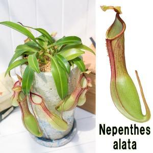 食虫植物 ウツボカズラ ネペンテス アラタ 陶器鉢植え 受け皿付き 育て方説明書付き アラータ|planchu