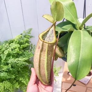 食虫植物 ウツボカズラ ネペンテス ルイーザ 5号吊り鉢 育て方説明書付き Nepenthes × Louisa|planchu