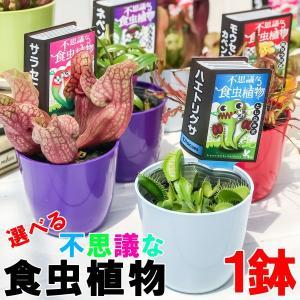 選べる不思議な食虫植物 3号鉢 ハエトリソウ サラセニア モウセンゴケ ウツボカズラ ウトリクラリア|planchu
