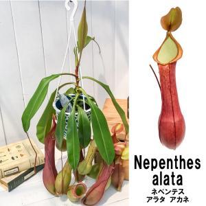 食虫植物 ウツボカズラ ネペンテス アラタ アカネ 5号吊り鉢 Nepenthes alata 育て方説明書付き 狂氣令嬢 茜 アラータ|planchu
