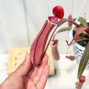 食虫植物 ウツボカズラ ネペンテス アルボマルギナータ 4号吊り鉢 育て方説明書付き Nepenthes albomarginata|planchu