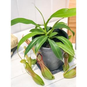 食虫植物 ウツボカズラ ネペンテス アラタ アオ 樹脂ポット植え Nepenthes alata 育て方説明書付き アラータ|planchu
