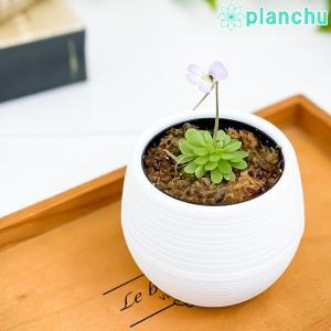 食虫植物 ムシトリスミレ ピンギキュラ エセリアナ 2号鉢 Pinguicula esseriana|planchu