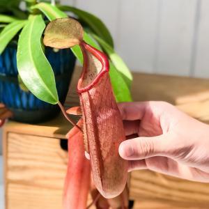 食虫植物 ウツボカズラ ネペンテス リンダ 5号吊り鉢 育て方説明書付き Nepenthes × Linda|planchu