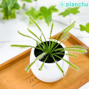 食虫植物 モウセンゴケ ドロセラ カペンシス 白花 2号鉢 育て方説明書付き Drosera capensis アフリカナガバモウセンゴケ|planchu