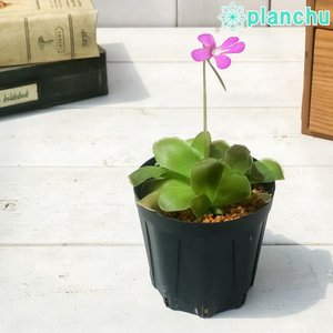 食虫植物 ムシトリスミレ ピンギキュラ セトス 2号鉢 育て方説明書付き Pinguicula × Sethos (ehlersiae × moranensis)|planchu