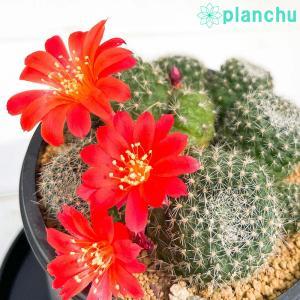 サボテン レブチア 宝山 ほうざん 3号鉢 Rebutia minuscula|planchu