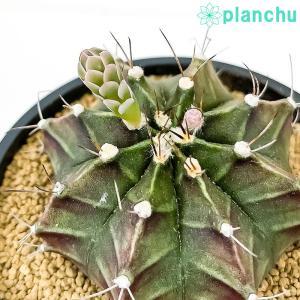 サボテン ギムノカリキウム 牡丹玉 ぼたんぎょく 3号鉢 Gymnocalycium mihanovichii|planchu