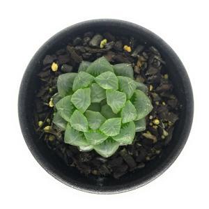 多肉植物 ハオルチア 雫石 2.5号鉢 ハオルシア Haworthia obtusa|planchu