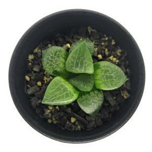 南アフリカが原産の多肉植物で、葉の先端部に透明な「窓」があるタイプ(軟葉系)と、硬い葉を持つタイプ(...