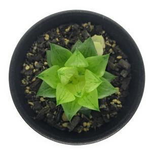 多肉植物 ハオルチア 氷砂糖 2.5号鉢 ハオルシア Haworthia turgida f. variegata|planchu