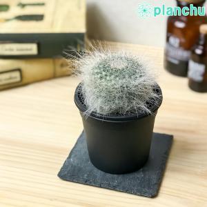 サボテン マミラリア 玉翁殿 ぎょくおうでん × 玉翁 たまおきな 3号鉢 Mammillaria hahniana f. lanata × hahniana|planchu