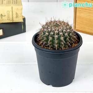サボテン パロディア 鬼雲丸 きうんまる 3号鉢 Parodia mammulosus|planchu