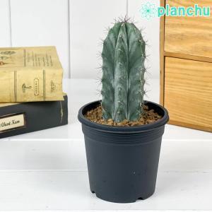 サボテン ステノケレウス 朝霧閣 あさぎりかく 3号鉢 Stenocereus pruinosus|planchu