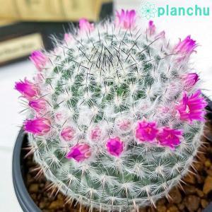 サボテン マミラリア 銀河 ぎんが 3号鉢 Mammillaria saetigera ギンガ|planchu