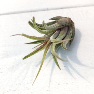 エアプランツ チランジア コルビィ SSサイズ Tillandsia エアープランツ ティランジア ブロメリア|planchu
