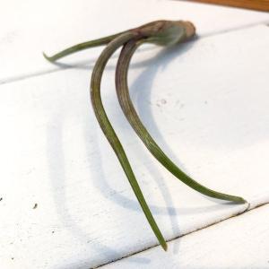 エアプランツ チランジア シュードベイレイ SSサイズ Tillandsia エアープランツ ティランジア ブロメリア|planchu