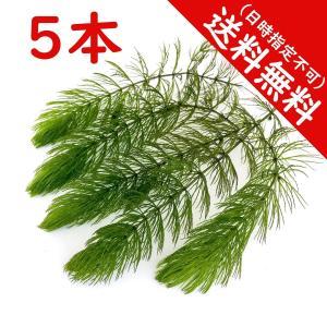 水草 マツモ 5本 国産 メール便|planchu