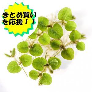 浮草 オオサンショウモ 5株 planchu