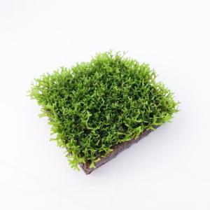水草 リシア ブルックリンタイル巻き 1個 Mサイズ planchu