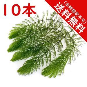 水草 マツモ 10本 国産 送料無料|planchu