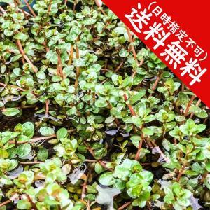 ロタラ インディカ 水上葉 10本 水草 ビオトープ 送料無料 planchu