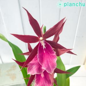 洋ラン ミルタシア ロイヤルローブ 3.5号鉢 開花終了株 珍しい 希少種 かっこいい ミルトニア ブラッシア ローヤルローブ Miltassia Royal Robe|planchu