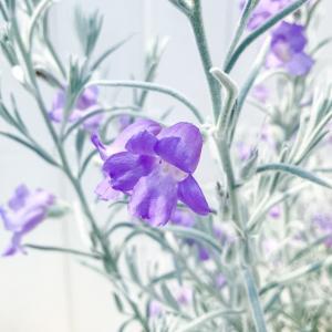 鉢花 エレモフィラ ニベア 5号鉢 Eremophila nivea|planchu