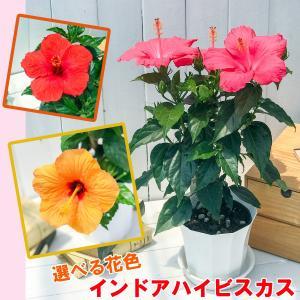 鉢花 インドアハイビスカス サニーシティー 選べる花色 5号鉢 Hibiscus|planchu