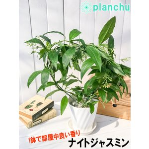 鉢花 ナイトジャスミン アーチ仕立て 5号鉢 夜香木 ヤコウボク Cestrum nocturnum|planchu