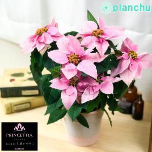 鉢花 サントリー プリンセチア ピンクホワイト 4号鉢 底面吸水鉢タイプ ポインセチア ユーフォルビア クリスマス|planchu