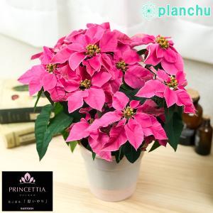 鉢花 サントリー プリンセチア ホットピンク 4号鉢 底面吸水鉢タイプ ポインセチア ユーフォルビア クリスマス|planchu