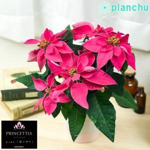 鉢花 サントリー プリンセチア ルージュ 4号鉢 底面吸水鉢タイプ ポインセチア ユーフォルビア クリスマス|planchu