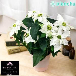 鉢花 サントリー プリンセチア ピュアホワイト 4号鉢 底面吸水鉢タイプ ポインセチア ユーフォルビア クリスマス|planchu