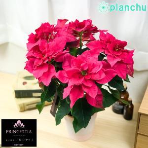 鉢花 サントリー プリンセチア オペラ 4号鉢 底面吸水鉢タイプ ポインセチア ユーフォルビア クリスマス|planchu