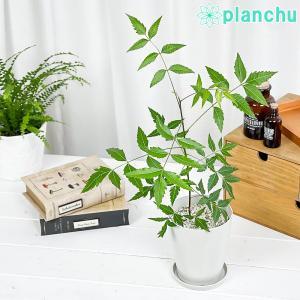 ハーブ 虫除け植物 ミラクルニーム 4号鉢 Azadirachta indica|planchu