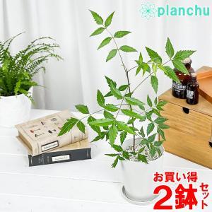 ハーブ 虫除け植物 ミラクルニーム 4号鉢 お買い得2鉢セット Azadirachta indica|planchu