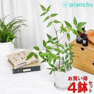 ハーブ 虫除け植物 ミラクルニーム 4号鉢 お買い得4鉢セット Azadirachta indica|planchu