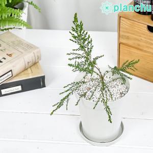 ハーブ 虫除け植物 モスキートブロッカー 4号鉢 Leptospermum liversidgei|planchu