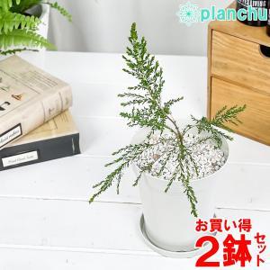 ハーブ 虫除け植物 モスキートブロッカー 4号鉢 お買い得2鉢セット Leptospermum liversidgei|planchu