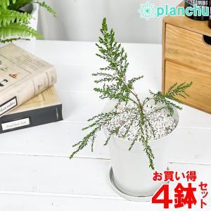 ハーブ 虫除け植物 モスキートブロッカー 4号鉢 お買い得4鉢セット Leptospermum liversidgei|planchu