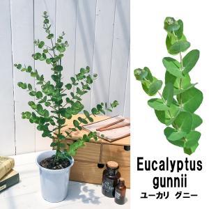 ハーブ ユーカリ グニー 4号鉢 Eucalyptus gunnii|planchu