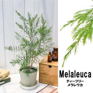 ハーブ メラレウカ ティーツリー 5号鉢 Melaleuca オージープランツ|planchu