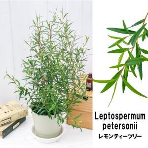 ハーブ レプトスペルマム レモンティーツリー 5号鉢 Leptospermum petersonii オージープランツ|planchu