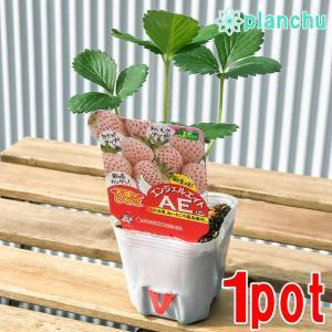 野菜苗 イチゴ 天使のいちご エンジェルエイト 3号ポット 果物 果菜苗 イチゴ苗 いちご苗 いちご|planchu