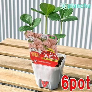 野菜苗 イチゴ 天使のいちご エンジェルエイト 3号ポット 6ポットセット 果物 果菜苗 イチゴ苗 いちご苗 いちご|planchu