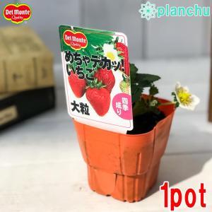 野菜苗 デルモンテ イチゴ めちゃデカッ!いちご 3号ポット 果物 果菜苗 イチゴ苗 いちご苗 いちご|planchu