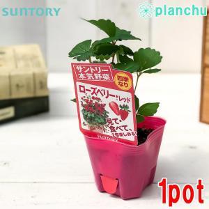 野菜苗 サントリー 本気野菜 イチゴ ローズベリーレッド 3号ポット 果物 果菜苗 イチゴ苗 いちご苗 いちご 四季なり|planchu