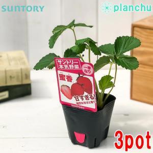 野菜苗 サントリー 本気野菜 イチゴ 蜜香 3号ポット 3ポットセット 果物 果菜苗 イチゴ苗 いちご苗 いちご|planchu