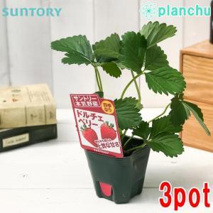 野菜苗 サントリー 本気野菜 イチゴ ドルチェベリー 3号ポット 3ポットセット 果物 果菜苗 イチゴ苗 いちご苗 いちご 四季なり|planchu
